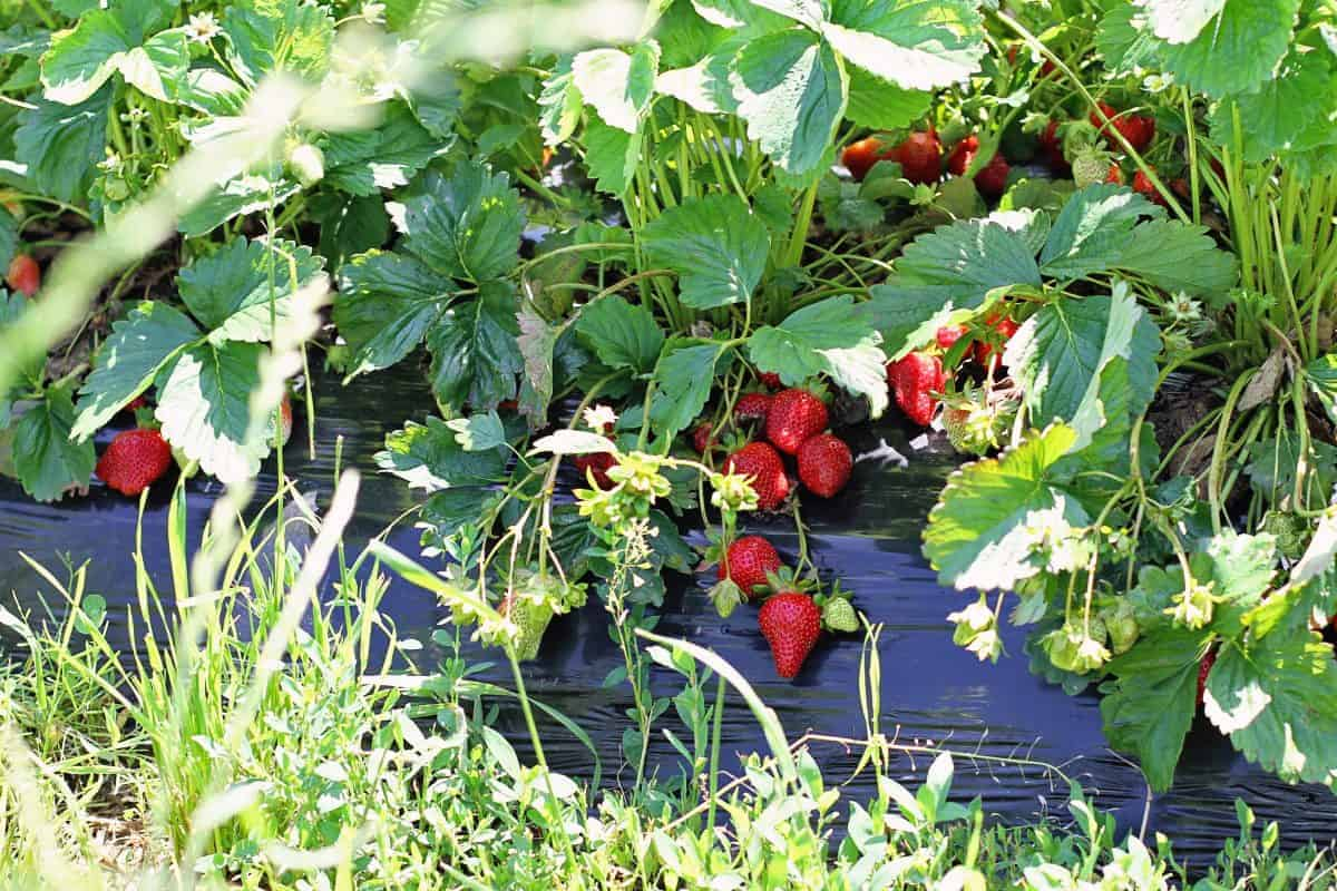 how to pick strawberries with kids