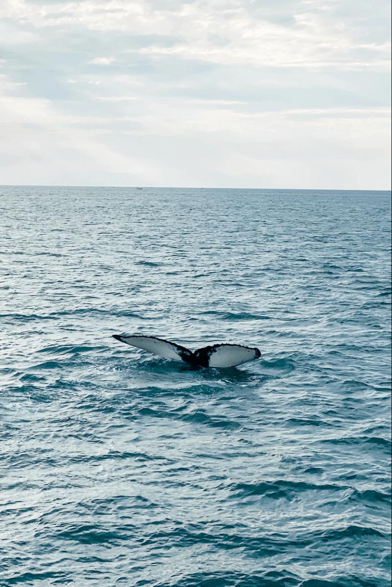 humpback whale fin cape cod provincetown adventure